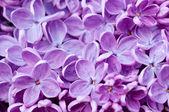 ライラック色の花の背景 — ストック写真