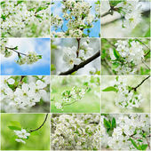 Cherry flowers collection — Stock Photo