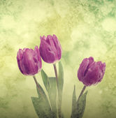Tulp bloemen — Stockfoto