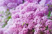 Ramo de flores lilas — Foto de Stock