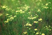 Vild kamomill blommor — Stockfoto