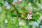 Apple tree flower — Stock Photo