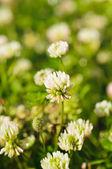 White clower flowers — Stock Photo
