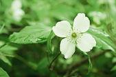 Fiore di gelsomino — Foto Stock