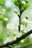 Flores de cerezo — Foto de Stock