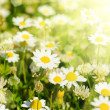Stock Photo: Wild camomile flowers