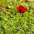 Stock Photo: Poppy in field