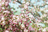 Apple boom bloem — Stockfoto