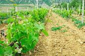 Vignoble vert — Photo