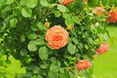 オレンジ ローズ — ストック写真