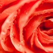 Orange rose macro — Stock Photo