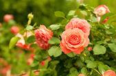 Orange rose — Stockfoto
