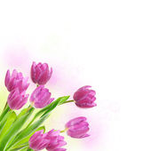 Tulip flowers background — Stock Photo