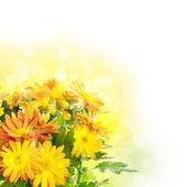 Sfondo fiori di crisantemo — Foto Stock