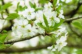Cherry bloemen — Stockfoto