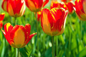 Rode mooie tulpen — Stockfoto