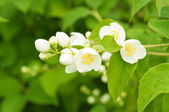 Jasmine flower — Stock Photo