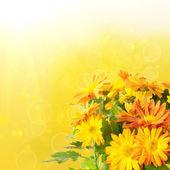 菊花花卉背景 — 图库照片