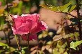 Pink rose — 图库照片