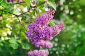 ライラック色の花の枝 — ストック写真