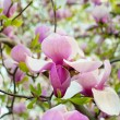 Magnolia flowers — Stock Photo #30628017