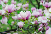Magnolia bloemen — Stockfoto