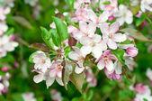 Apple tree flower — Stock Photo