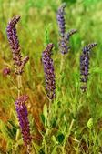 Kwiat fioletowy łąka — Zdjęcie stockowe