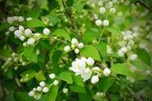 Jasmin blomma — Stockfoto
