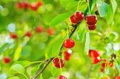 Cherry tree with fruits — Stock Photo