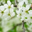 Cherry flowers — Foto Stock