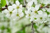Cherry flowers — Stockfoto