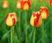 红色的美丽郁金香 — 图库照片