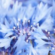 Cornflower background — Stock Photo