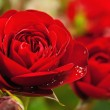 Red rose — Stock Photo #32652123