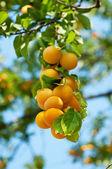 Cherry-plum tree with fruits — Stock Photo