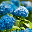 Hydrangea flowers — Stock Photo