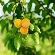 Cherry-plum tree with fruits — Stock Photo