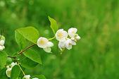 Jasmínový květ — Stock fotografie