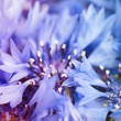 Cornflower defocused background — Stock Photo