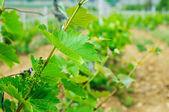 зеленый виноградник — Стоковое фото