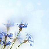 Cornflowers background — Stock Photo