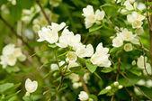 жасмин цветок — Стоковое фото