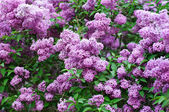 Branch of lilac flowers — Stock Photo