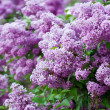 Branch of lilac flowers — ストック写真
