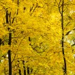 Golden forest — Stock Photo #36358081