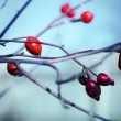 Rosehip berries — Stock Photo