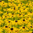Rudbekia flowers — Stock Photo