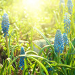 muscari neglectum — Stock Photo