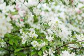 Flor del árbol de manzana — Foto de Stock